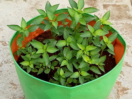 How to plant Chilli in Terrace Garden