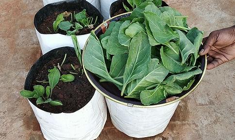 Spinach harvest.jpg
