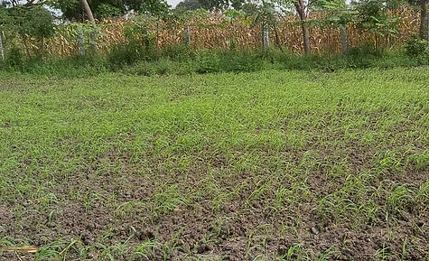 How to grow Organic Fodder Maize farming in Ariyalur, Tamil Nadu, India