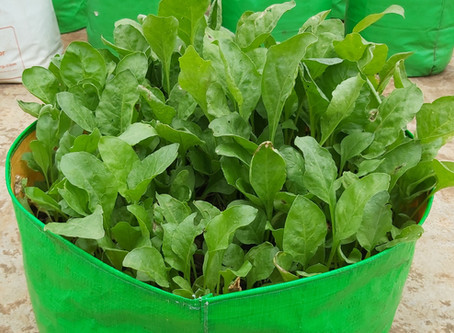 How to plant Spinach - Vegetable gardening at home
