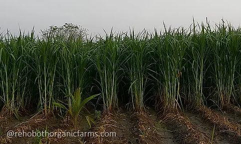 Super Napier Farming.jpg