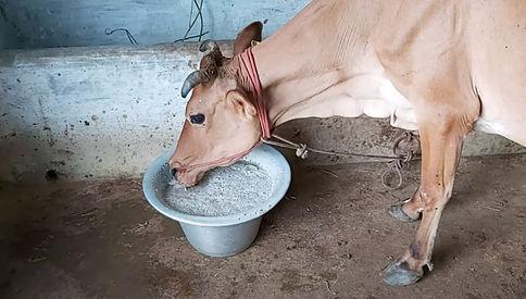 Organic Dairy Farming in Ariyalur, Tamil Nadu