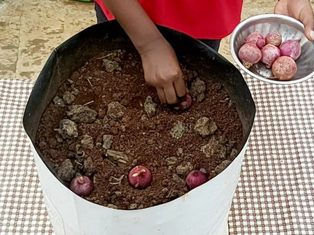 How to plant Onions at home