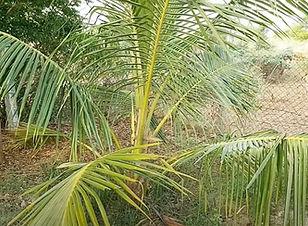 3 years old coconut tree.jpg