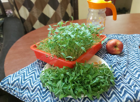How to grow Microgreens at home: