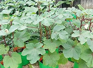 Okra 9 - Terrace Gardening.jpg