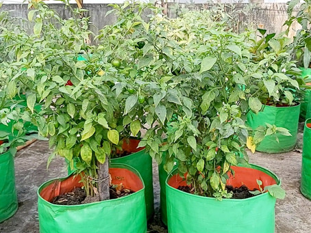 Chilli Flowering and Pollination in Terrace Gardening