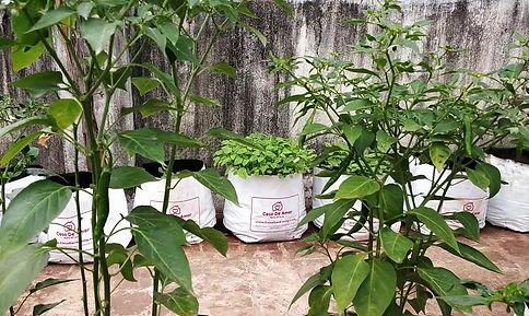 Chilli ready for harvesting.jpg