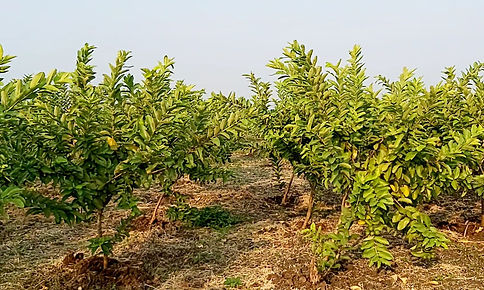 2 years old guava trees.jpg