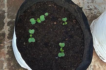 Radish planting.jpg