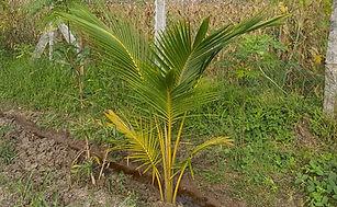 1 year old coconut tree.jpg