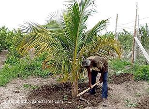 Organic fertilizer for Coconut.jpg