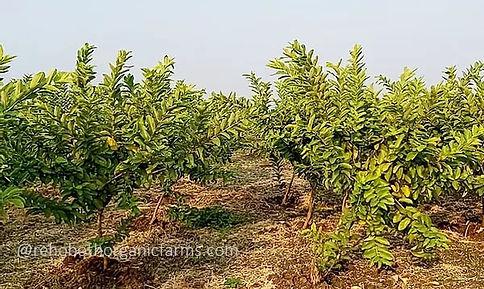 Guava Farming in Rehoboth Organic Farms.