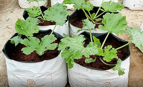 Zucchini in the garden.jpg
