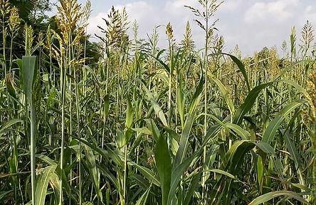 Maize3.jpg
