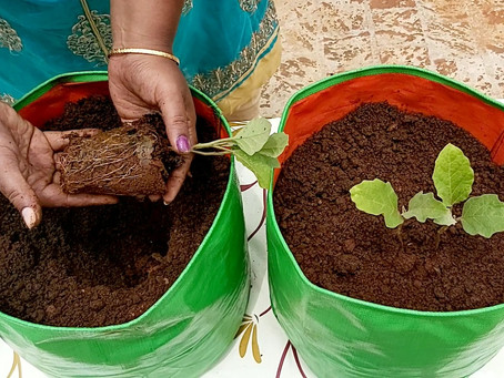 How to plant Brinjal from seeds - Vegetable gardening at home