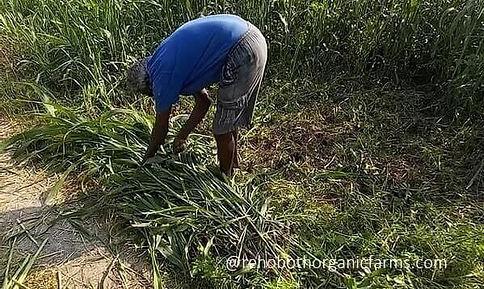 Sorghum fodder harvesting.jpg