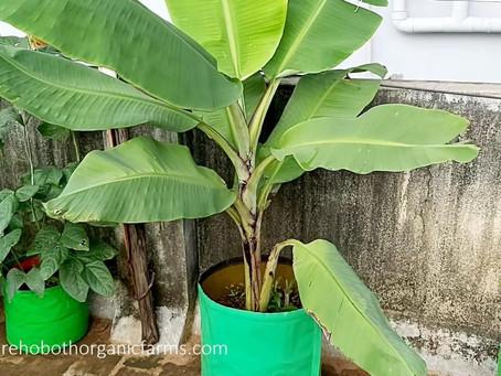 Bio Fertilizer for Banana Tree