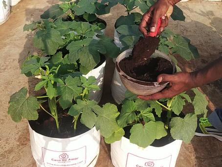 How to Care Okra plants