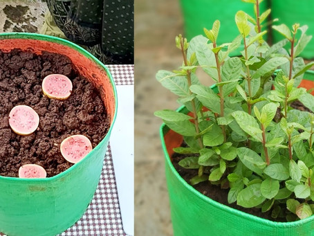 How to plant Guava in containers