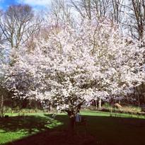 Prunus de dingus