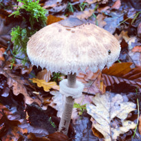 champignon à collerette