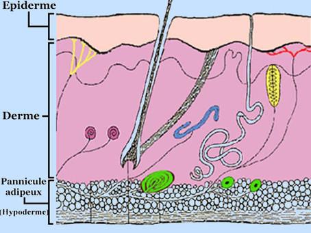 Quelles sont les différentes couches qui constituent la peau ?