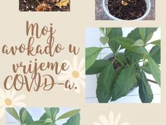 Avokado u saksiji nakon 6 mjeseci