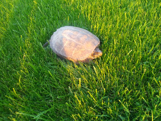 Turtle friendly turf