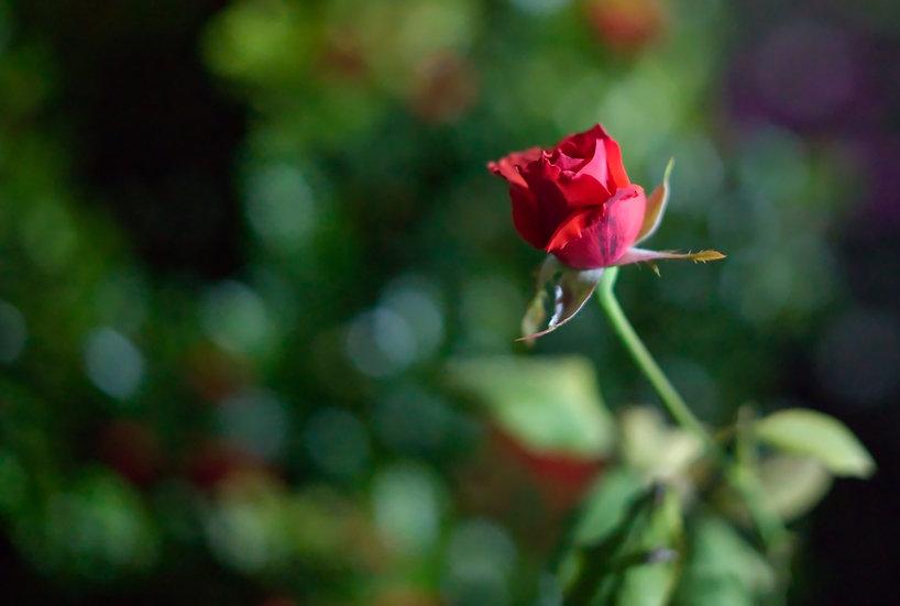Soft Focus Rose