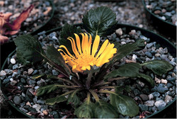 Paranephelius ovatus (Bolivia)