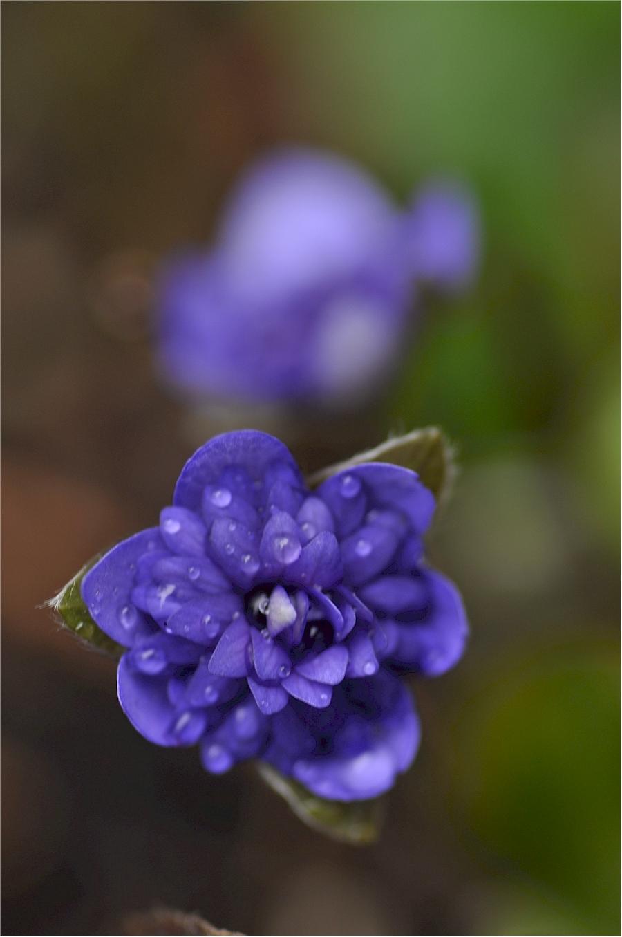Hepatica nobilis double form