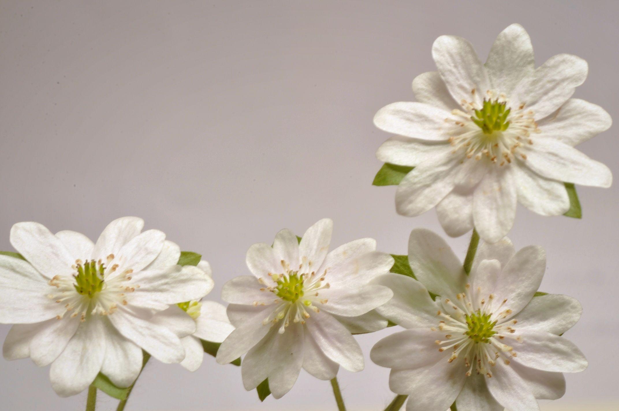 Multi-petaled Hepatica acutiloba