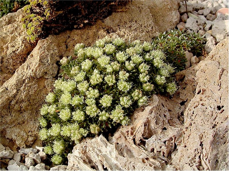 Eriogonum tumulosum