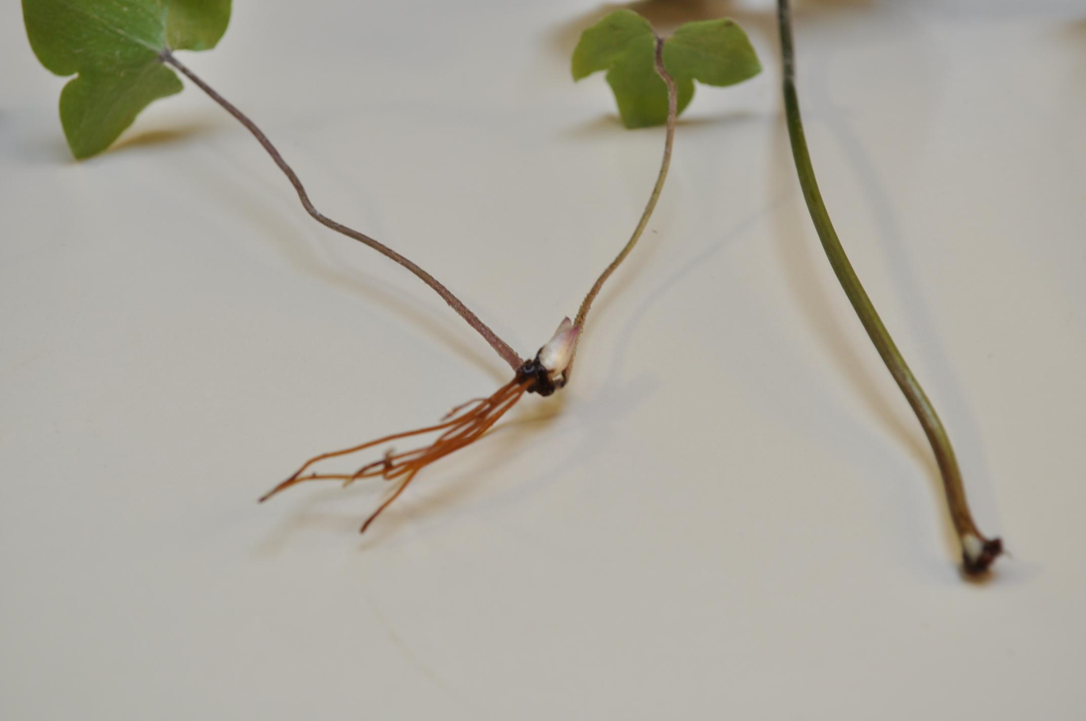 Hepatica leaf cutting