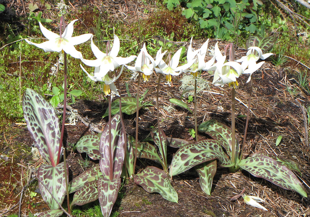 erythronium - Erythronium oregonum. Already popular in local gardens, this heavily-mottled form was found less than half an hour away from our meeting location.