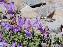 Penstemon Davidoniii Var. Davidsonii at Crane Mt. Oregon photo by Ned Lowry