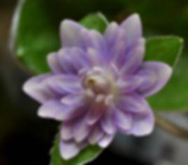 Hepatica japonica Double