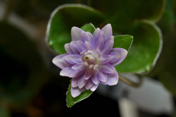 Hepatica japonica seedling