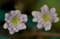 Hepatica japonica full double flower