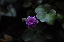 Hepatica nobilis double