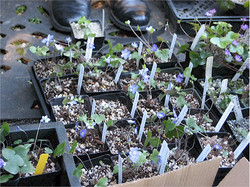 Hepatica seedlings to share