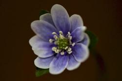 Hepatica acutiloba Blue and White bicolor