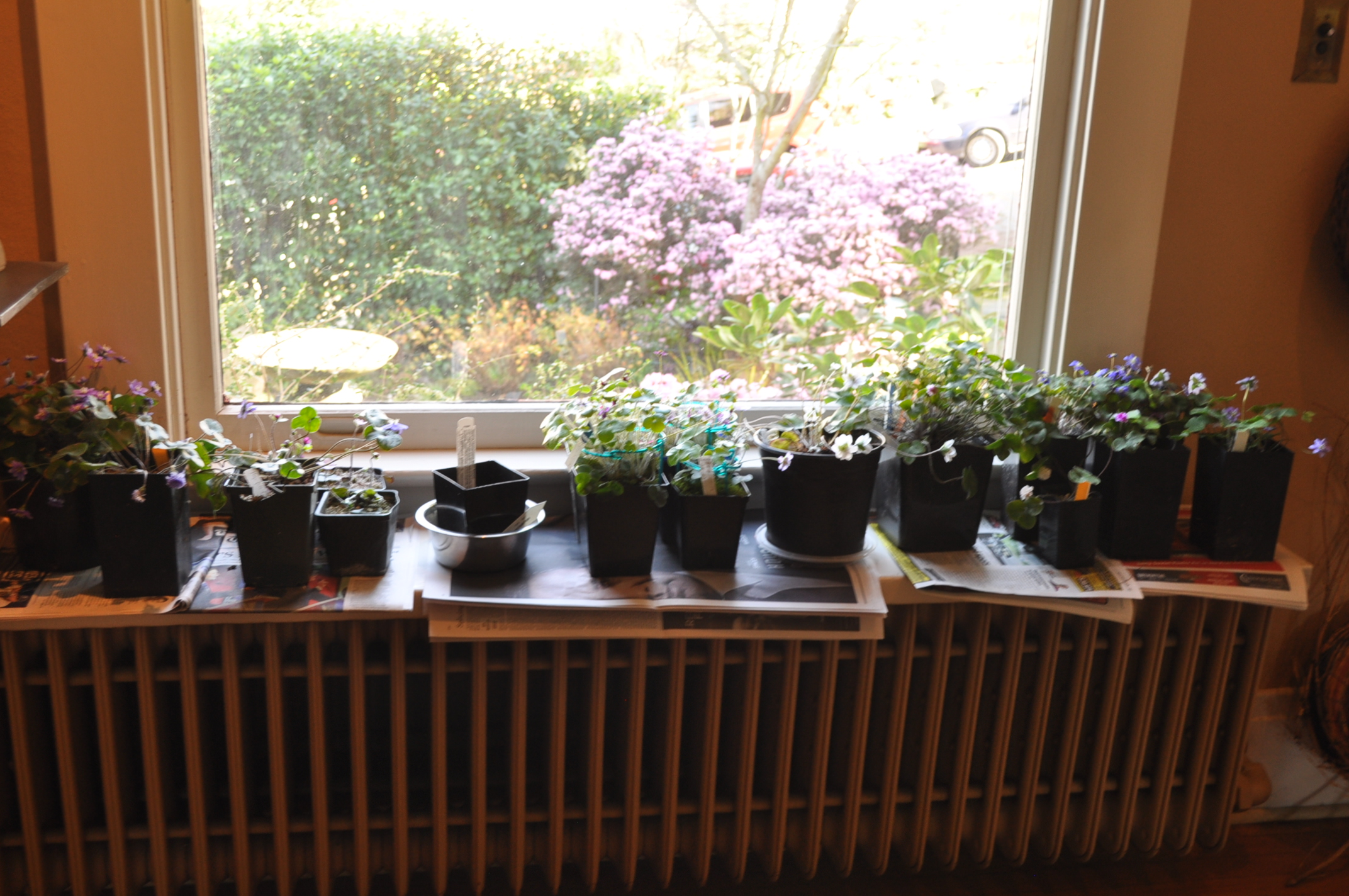 Hepatica show and tell
