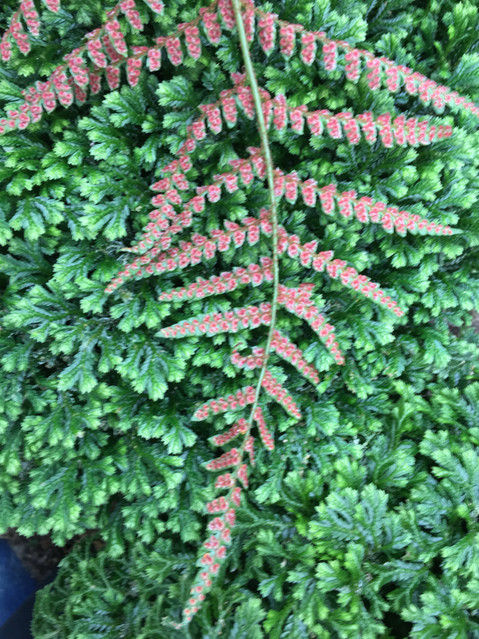 October talk: Fern Propagation - Fern Life Cycle, Collecting and Sowing Spores by Judith Jones + Mem
