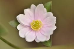 H. acutiloba pink selection