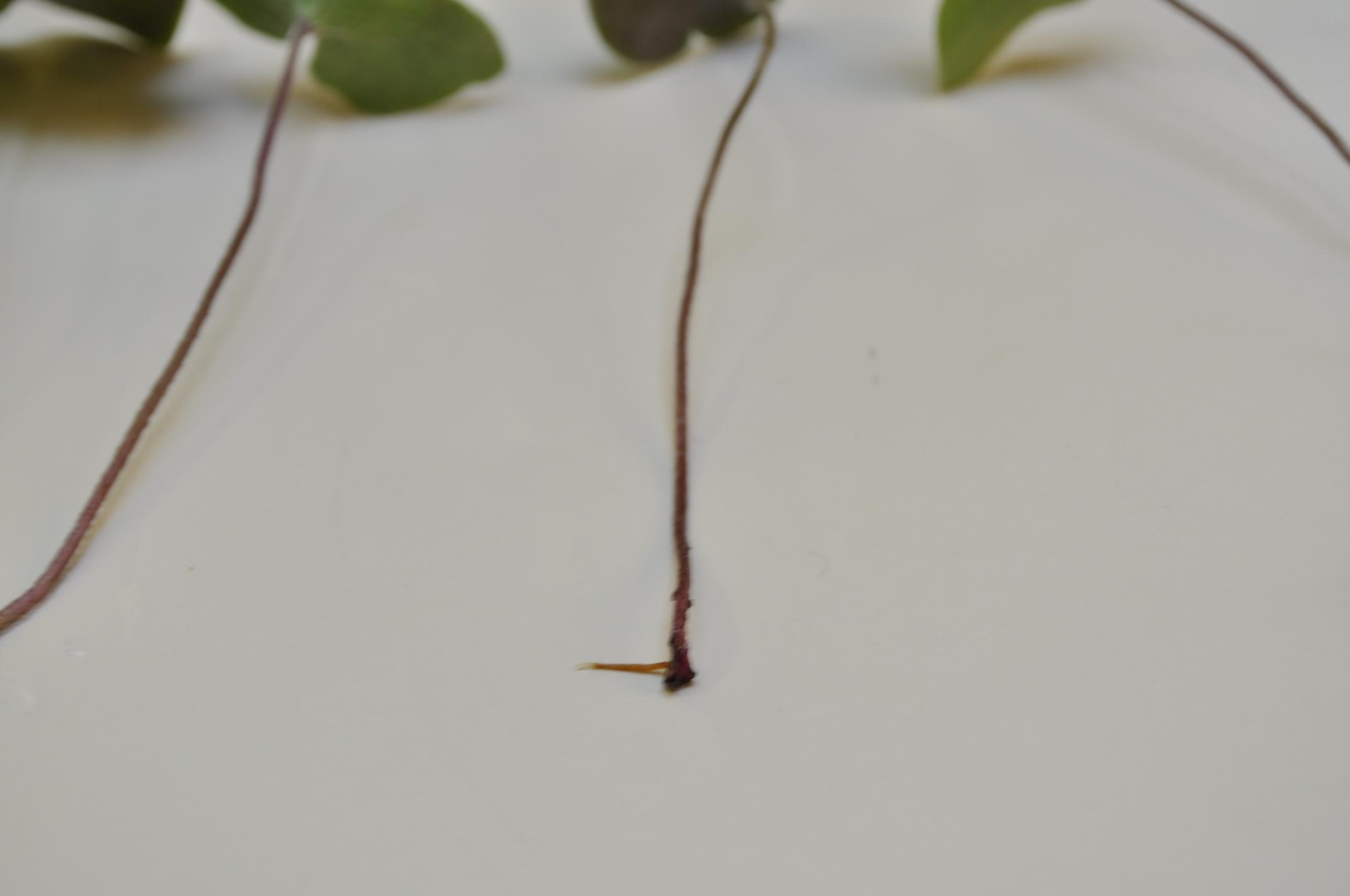 Hepatica leaf propagation