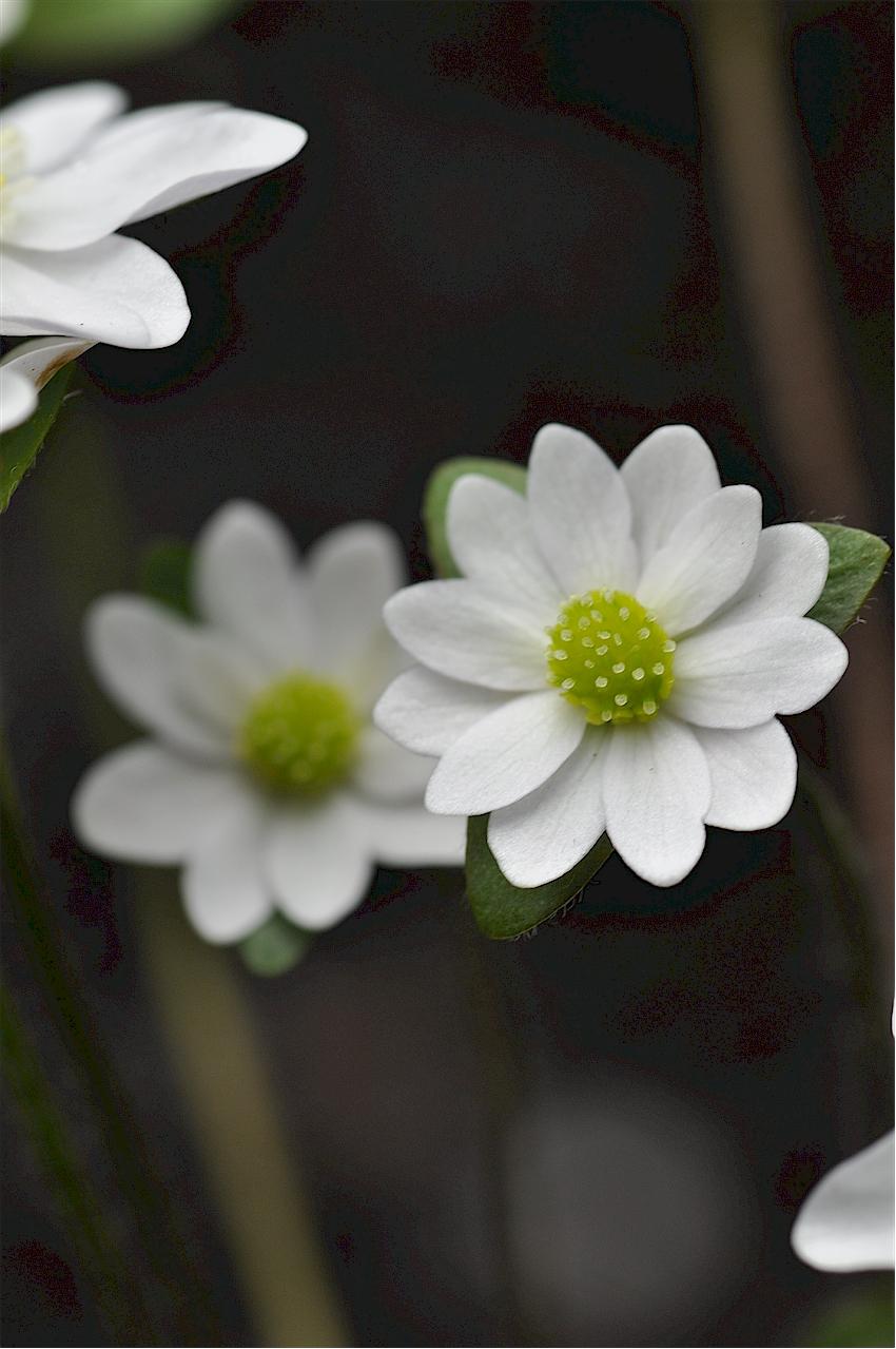 Hepatica acutiloba maiden type