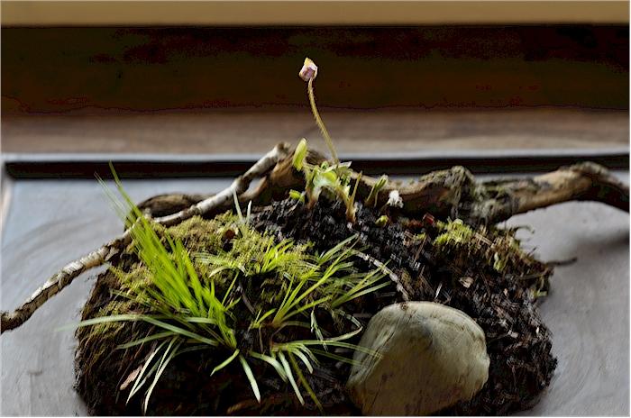 Hepatica bonsai-style