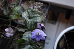 Hepatica nobilis